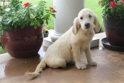Golden Retriever PUPPY FOR SALE ADN-95826 - English Cream Golden Retriever Puppy