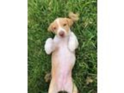 Adopt Atticus a Tan/Yellow/Fawn Basset Hound / Mixed dog in Clearwater