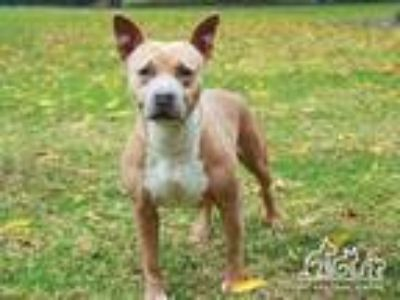 Adopt GIDGET a Brown/Chocolate - with White American Pit Bull Terrier / Mixed