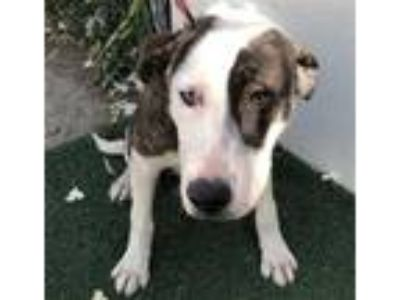Adopt a White Border Collie / Mixed dog in Visalia, CA (25326533)