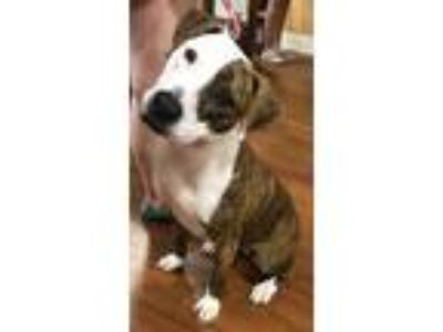 Adopt Eudora a Brindle - with White Hound (Unknown Type) / Pit Bull Terrier /