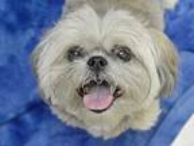Adopt Sierra a Lhasa Apso / Mixed dog in Portland, OR (25250782)