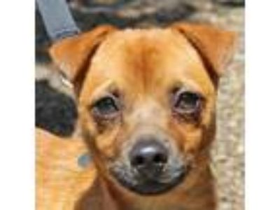 Adopt Tanker a Brown/Chocolate - with Black Pug / Beagle / Mixed dog in Walnut
