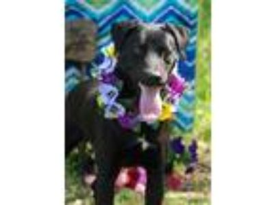 Adopt Piper a Labrador Retriever, Pointer