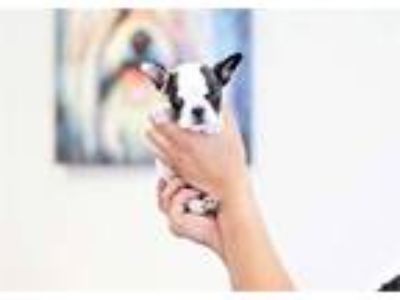 Aphrodite the Mini French Bulldog ($3,000)
