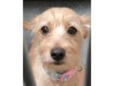 Adopt Maddie a Cairn Terrier / Mixed dog in Novato, CA (25850620)
