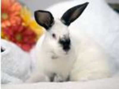 Adopt Meadow a Californian / Mixed (short coat) rabbit in Pflugerville