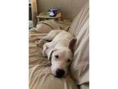 Adopt Prince a White Labrador Retriever / German Shepherd Dog / Mixed dog in