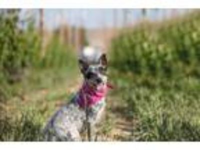 Adopt Rylee a Australian Cattle Dog / Blue Heeler
