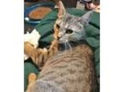 Adopt Peonie a Brown Tabby Domestic Shorthair / Mixed (short coat) cat in