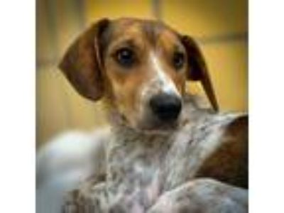 Adopt Annie a Beagle / Jack Russell Terrier / Mixed dog in Houston