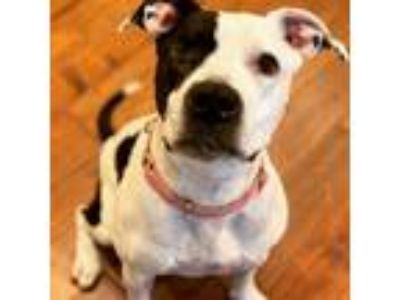 Adopt Ada a White - with Black Pit Bull Terrier / Mixed dog in Manhattan