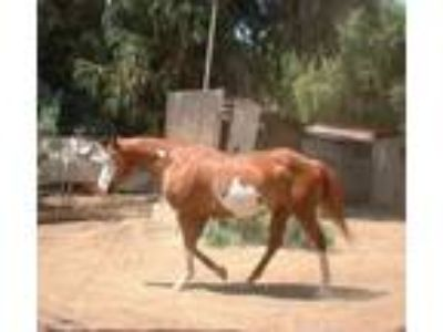Adopt BLUE EYES-Special Needs a Paint Quarterhorse / Mixed horse in West Los