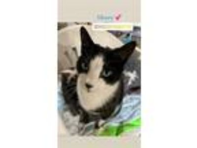 Adopt Henry a Domestic Short Hair
