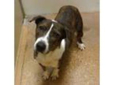 Adopt Bevo a Brindle Basset Hound / Terrier (Unknown Type