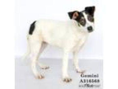 Adopt GEMINI a White - with Black Border Collie / Rottweiler / Mixed dog in