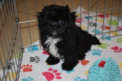 Zuchon PUPPY FOR SALE ADN-107848 - Zuchon Puppy
