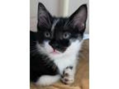 Adopt Jack Jack a Black & White or Tuxedo Domestic Shorthair / Mixed cat in