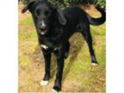 Adopt Lab Mix Pup a Labrador Retriever / Shepherd (Unknown Type) / Mixed dog in