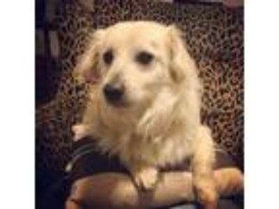 Adopt Russ a White Spaniel (Unknown Type) / Dachshund / Mixed dog in Santa