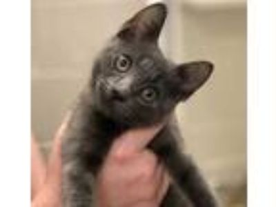 Adopt Jenny a Gray or Blue Russian Blue / Domestic Shorthair / Mixed cat in