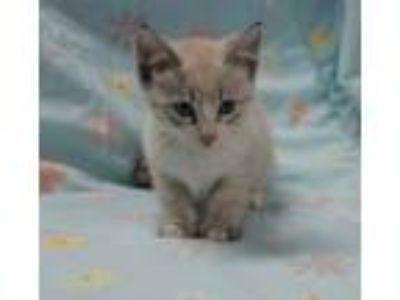 Adopt Oodle a Siamese