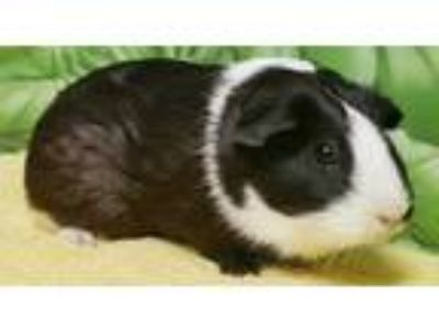 Adopt Meg a Black Guinea Pig / Guinea Pig / Mixed small animal in Englewood