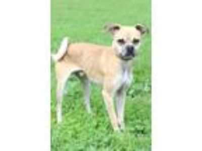 Adopt Bart a Tan/Yellow/Fawn - with White Pug / Mixed dog in Waldorf