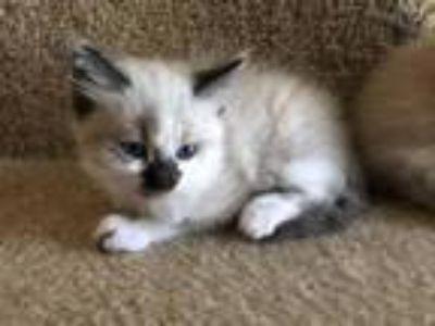 Male Siamese Snowshoe Kitten