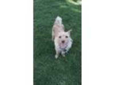 Adopt Daisy a Tan/Yellow/Fawn Terrier (Unknown Type, Small) / Mixed dog in