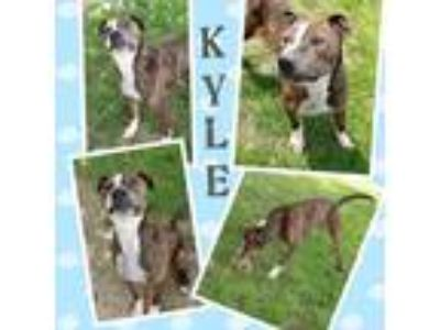 Adopt KYLE a Brindle - with White American Pit Bull Terrier / Mixed dog in
