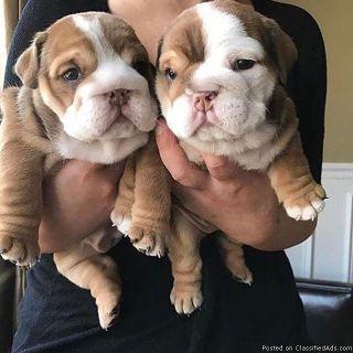English bulldog puppies for sell
