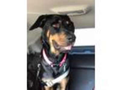 Adopt Aziza a Black - with Tan, Yellow or Fawn Rottweiler / Hound (Unknown Type)