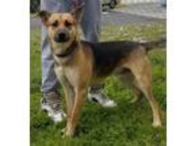 Adopt Chester a German Shepherd Dog