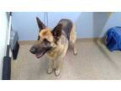 Adopt MOLLY a Black - with Tan, Yellow or Fawn German Shepherd Dog / Mixed dog