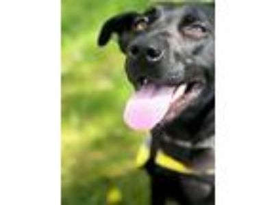 Adopt Lady Gilmore a Black Labrador Retriever / Mixed dog in Barrington