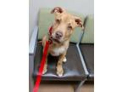 Adopt Bear a Tan/Yellow/Fawn Staffordshire Bull Terrier / Mixed dog in West