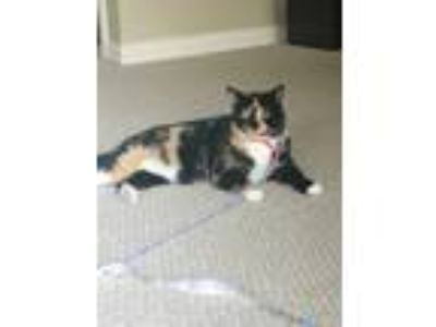 Adopt Kitty a Calico or Dilute Calico Calico / Mixed cat in Houston