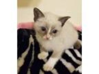 Adopt Emma a Cream or Ivory (Mostly) Snowshoe (short coat) cat in Long Beach
