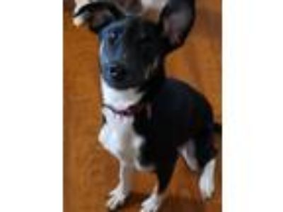 Adopt Teddy a Black - with White Beagle / German Shepherd Dog dog in Louisville