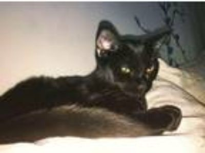 Adopt Leia a All Black Domestic Mediumhair / Mixed cat in Willoughby