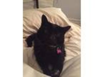 Adopt Penny a All Black Domestic Shorthair / Mixed (short coat) cat in Clint