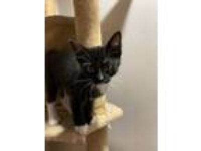 Adopt 6 black kittens a Domestic Short Hair