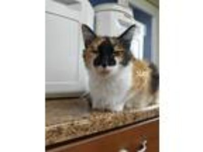 Adopt Suki a Calico or Dilute Calico Calico (medium coat) cat in Wilmington