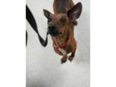 Adopt Raven a Brown/Chocolate Dachshund / Mixed dog in Altoona, PA (25908477)