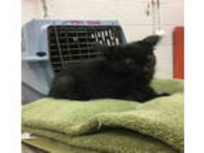 Adopt LIL BEAR a All Black Domestic Shorthair / Mixed (short coat) cat in