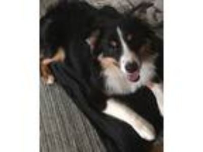 Adopt Waylon a Tricolor (Tan/Brown & Black & White) Australian Shepherd dog in