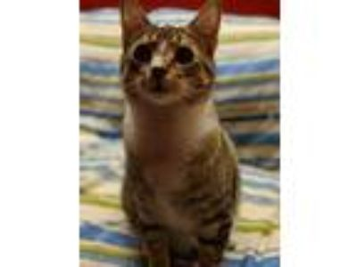 Adopt Tankx a Domestic Shorthair / Mixed (short coat) cat in Coshocton