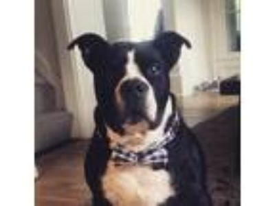 Adopt Rocky a Black - with White Staffordshire Bull Terrier / Mixed dog in