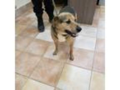 Adopt Lyla a Tan/Yellow/Fawn - with Black Shepherd (Unknown Type) / Mixed dog in